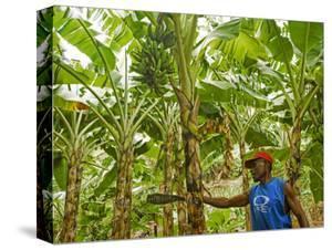 South Pacific, Fiji, Kadavu, Local Fijian Islander Checking His Banana Plantation on Dravuni Island by Paul Harris