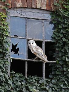 Barn Owl Sitting in Old Farm Window, Tyto Alba, Norfolk by Paul Hobson