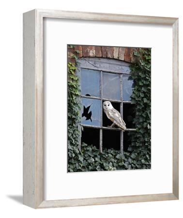 Barn Owl Sitting in Old Farm Window, Tyto Alba, Norfolk