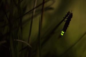 Glowworm (Lampyris Noctiluca) at Night, Cambridgeshire, England, UK, August by Paul Hobson