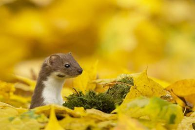 Weasel (Mustela Nivalis) Head and Neck Looking Out of Yellow Autumn Acer Leaves by Paul Hobson