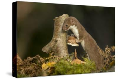 Weasel (Mustela Nivalis) Investigating Birch Stump with Bracket Fungus in Autumn Woodland