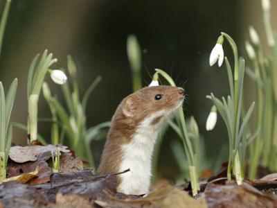 Weasel (Mustela Nivalis) Looking Out of Hole on Woodland Floor with Snowdrops by Paul Hobson