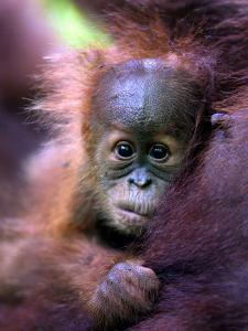Baby Oragutan Nestled in Arms of Mother, Gunung Leuser National Park, Indonesia by Paul Kennedy