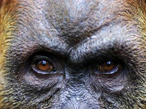 Close-Up of Female Orang-Utan, Gunung Leuser National Park by Paul Kennedy