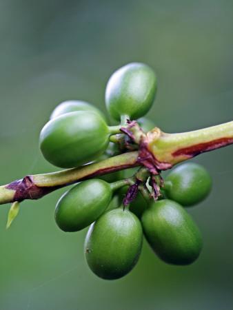 Coffee Beans Growing at Finca (Plantation) on Ruta De Las Siete Cascadas