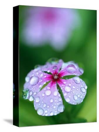 Detail of Flower and Rain Drops