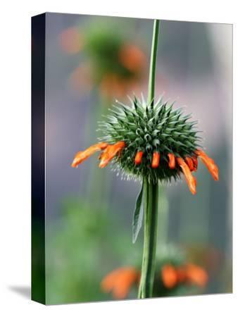 Flower known Locally as Flor De Cardo
