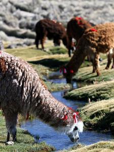 Grazing Alpacas by Paul Kennedy
