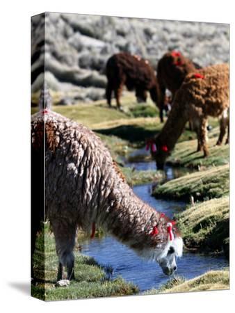 Grazing Alpacas