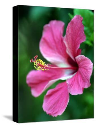 Hibiscus Flower in Morro Negrito, Chiriqui, Panama