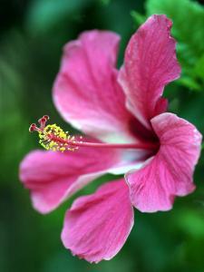 Hibiscus Flower in Morro Negrito, Chiriqui, Panama by Paul Kennedy