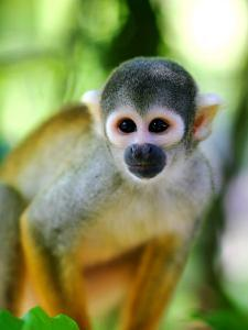 Squirrel Monkey at an Animal Rescue Centre by Paul Kennedy
