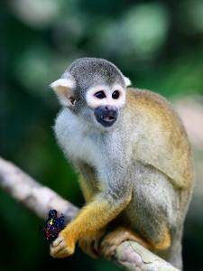 Squirrel Monkey (Saimiri Sciureus) About to Eat a Colourful Butterfly at an Animal Rescue Centre by Paul Kennedy