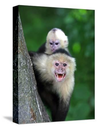 White-Faced Capuchin (Cebus Capucinus) Protects its Baby at Monkey Island Near Merida