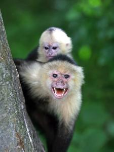 White-Faced Capuchin (Cebus Capucinus) Protects its Baby at Monkey Island Near Merida by Paul Kennedy