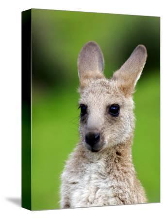 Young Kangaroo (Macropus Giganteus) at Pretty Beach