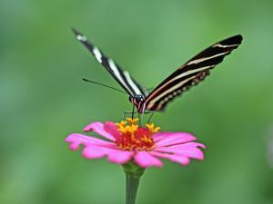 Zebra Longwing (Heliconius Charitonius) Feeding on Nectar of Flower Blossom by Paul Kennedy