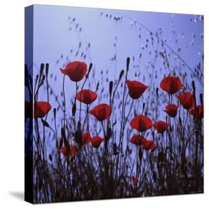 Red Poppies Growing in a Grassy Field by Paul Schutzer