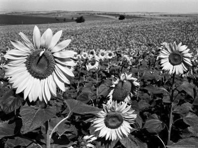 Sunflower Field in Full Bloom by Paul Schutzer
