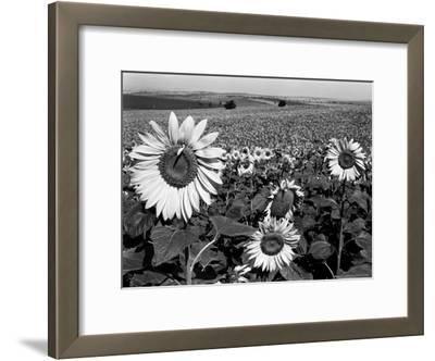 Sunflower Field in Full Bloom