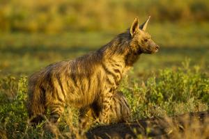 Aardwolf, Ngorongoro Conservation Area, Tanzania by Paul Souders