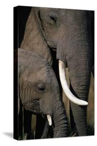 African Elephants by Paul Souders