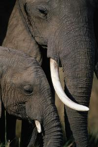African Elephants by Paul Souders