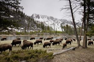 American Bison Herd Grazing in Yellowstone National Park by Paul Souders