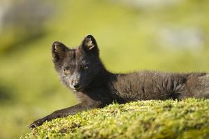 Arctic Fox, Svalbard, Norway by Paul Souders