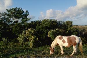 Assateague Pony by Paul Souders