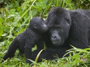 Baby Gorilla Kisses Silverback Male by Paul Souders