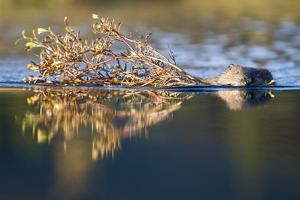 Beaver in Denali National Park by Paul Souders