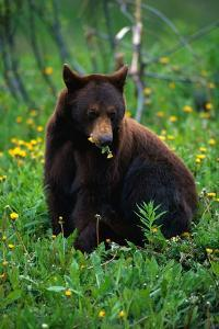 Black Bear Eating Dandelions in Meadow by Paul Souders