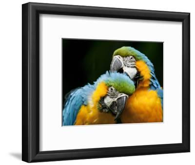 Blue-and-gold Macaws at Zoo Ave Park