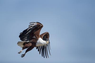 Botswana, Chobe NP, African Fish Eagle Taking Off Above Savuti Marsh