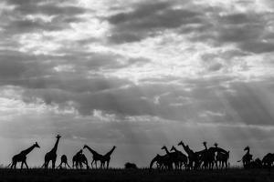 Botswana, Chobe NP, Herd of Giraffes Feeding Along Chobe River's Banks by Paul Souders
