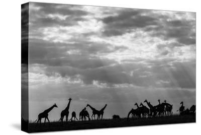 Botswana, Chobe NP, Herd of Giraffes Feeding Along Chobe River's Banks