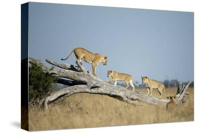 Botswana, Chobe NP, Lioness and Cubs Climbing on Acacia Tree