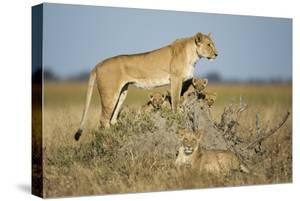 Botswana, Chobe NP, Lioness and Young Cubs Standing on Termite Mound by Paul Souders