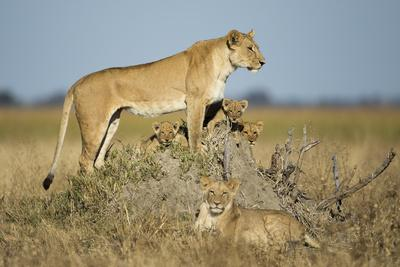 Botswana, Chobe NP, Lioness and Young Cubs Standing on Termite Mound