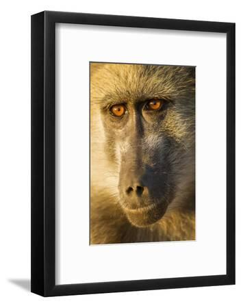 Botswana, Chobe NP, Portrait of Chacma Baboon Sitting in Morning Sun