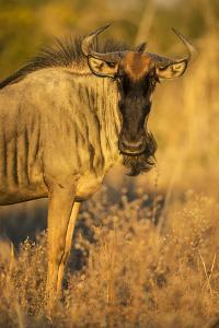 Botswana, Chobe NP, Wildebeest Standing in Savuti Marsh at Dawn by Paul Souders