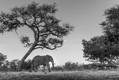 Botswana, Moremi Game Reserve, African Elephant at Moonrise