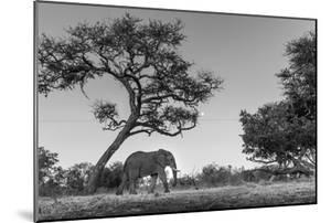 Botswana, Moremi Game Reserve, African Elephant at Moonrise by Paul Souders