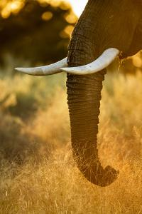 Botswana, Moremi Game Reserve, Sunrise Lights African Elephant Feeding by Paul Souders