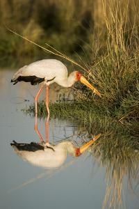 Botswana, Moremi Game Reserve, Yellow Billed Stork Captures Small Frog by Paul Souders