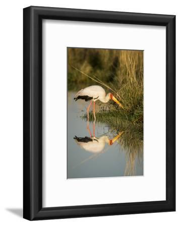 Botswana, Moremi Game Reserve, Yellow Billed Stork Captures Small Frog