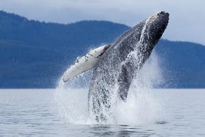 Breaching Humpback Whale, Alaska by Paul Souders