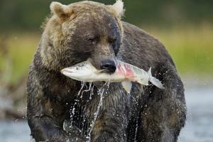 Brown Bear and Salmon, Katmai National Park, Alaska by Paul Souders